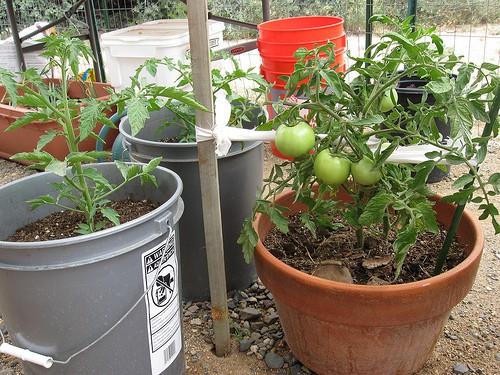 How often fertilize tomatoes in pots — photo 1