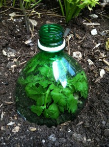 bottle top to protect seedlings