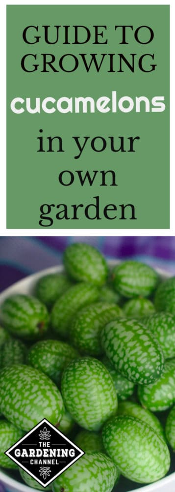 cucamelons in bowl with text overlay guide to growing cucamelons in your own garden