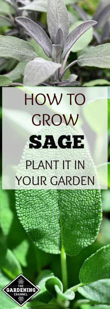 close up of sage growing in garden and close up of sage leaf with text overlay how to grow sage plant it in your garden