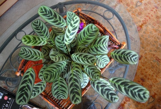 prayer plant houseplant