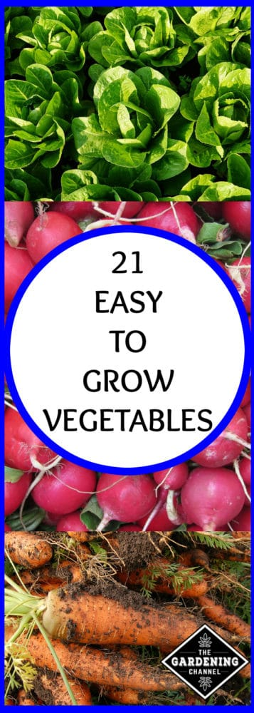lettuce in garden harvested radishes harvested carrots with dirt with text overlay 21 easy to grow vegetables