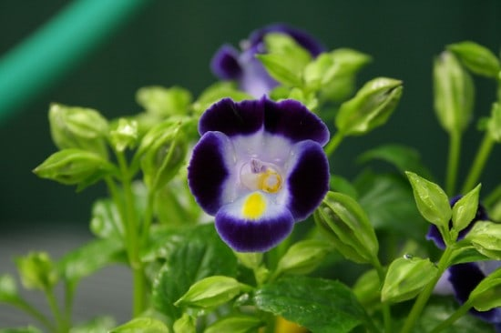 Pretty purple torenia