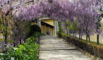 Beautiful wisteria awning