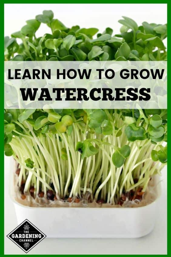 watercress growing in container with text overlay learn how to grow watercress