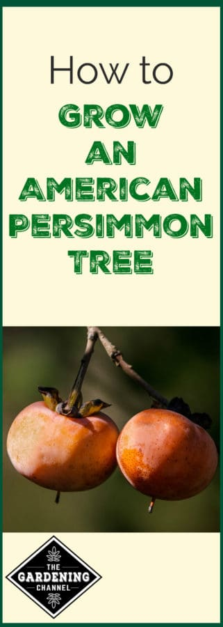 growing persimmon trees
