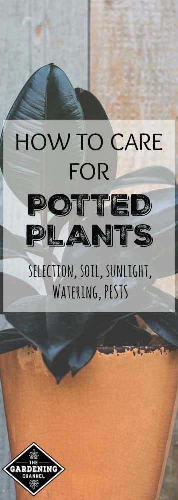 houseplant in planted with text overlay how to care for potted plants selection, soil, sunlight, watering, pests