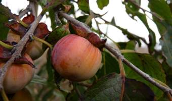 How to Grow an American Persimmon Tree