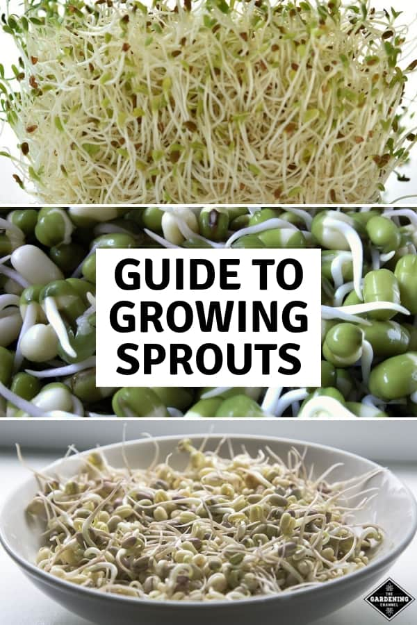 alfalfa bean sprouts and sprouts in bowl with text overlay guide to growing sprouts