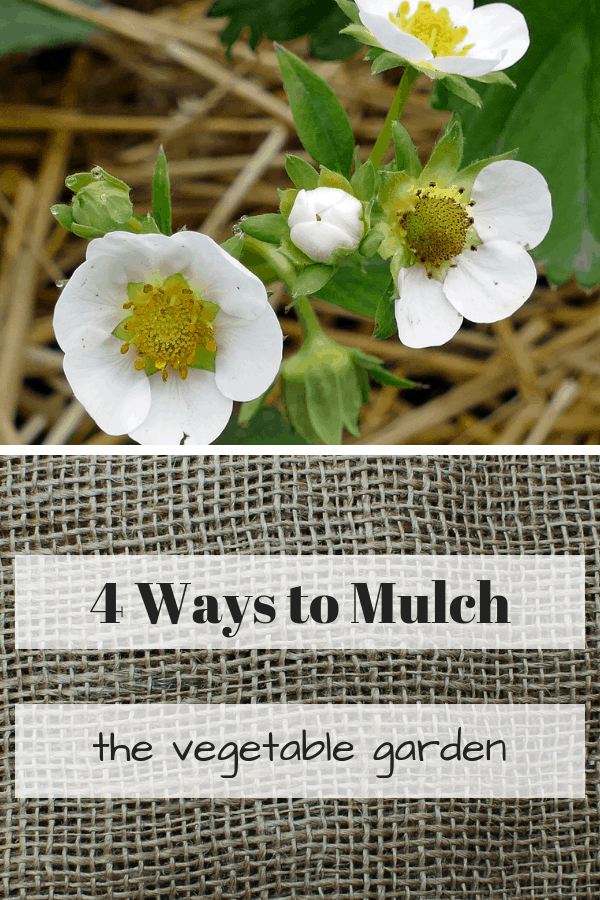 straw around strawberries and burlap with text overlay four ways to mulch vegetable garden