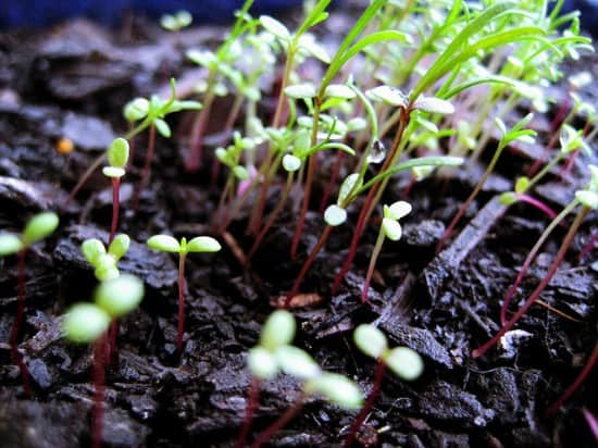 Soil-based method for growing sprouts