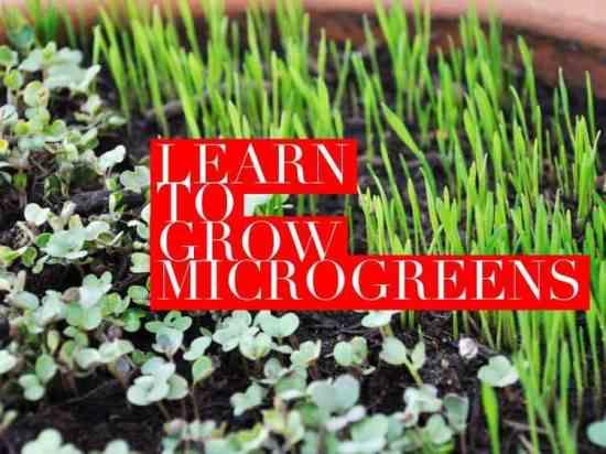 Learn why you should grow microgreens