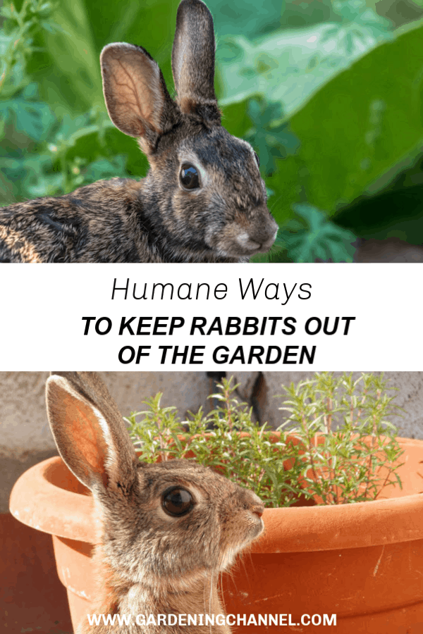 rabbit in garden and rabbit at potted plants with text overlay humane ways to keep rabbits out of the garden