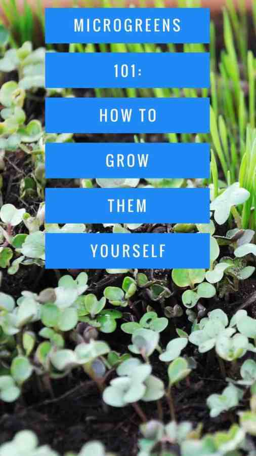 Learn how to grow your own microgreens at home with this DIY gardening guide. Microgreens are different than sprouts. Learn why you should be growing and eating them!