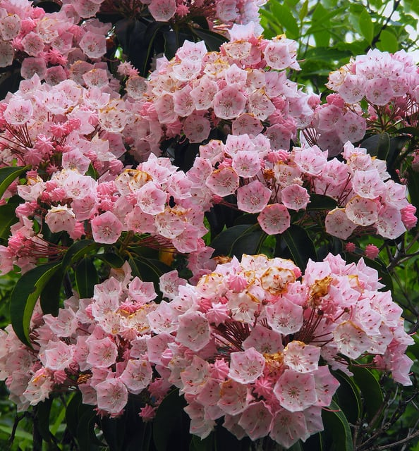 How To Grow Mountain Laurel Gardening Channel