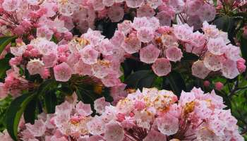 3 basic steps to shrub identification gardening channel how to grow mountain laurel mightylinksfo