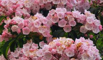 How to Grow Mountain Laurel