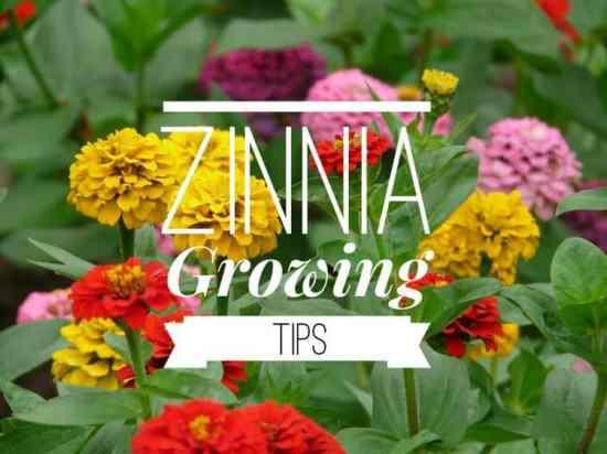 Growing Zinnias