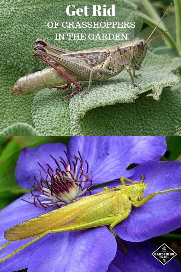 grasshopper on leaf and grasshopper on flower with text overlay get rid of grasshoppers in the garden