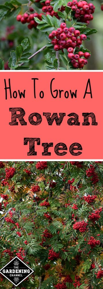 Learn how to grow a rowan tree or mountain ash, the tree of good luck