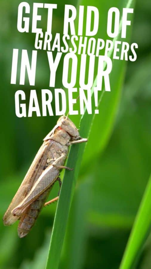 get rid of grasshoppers from vegetable garden pinterest pin