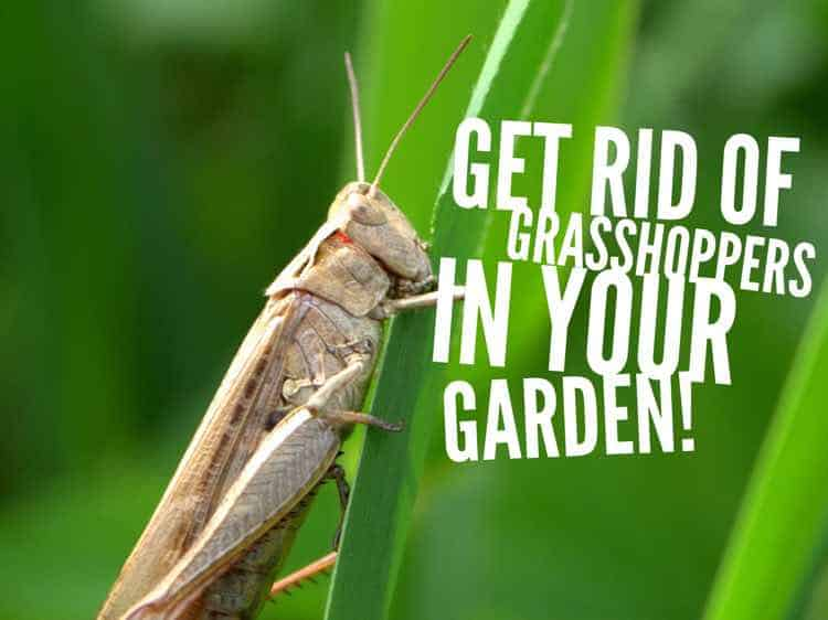 how to kill grasshoppers in the vegetable garden
