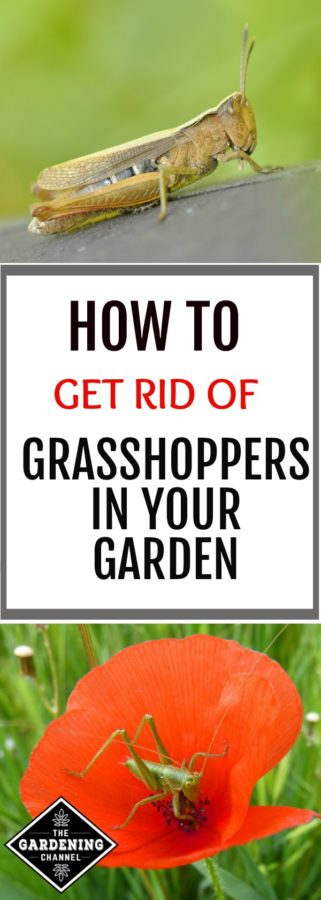 Get rid of grasshoppers