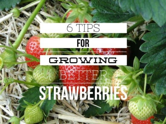 Tips to Grow Better Strawberries