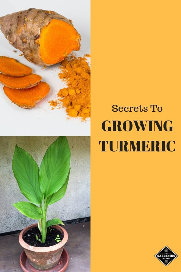 turmeric root and turmeric in container with text overlay secrets to growing turmeric
