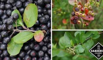 How to Grow Chokeberries