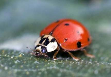 Ladybugs are aphid eaters