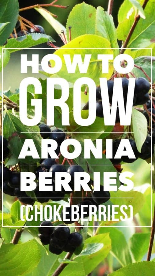 how to grow aronia berries chokeberry