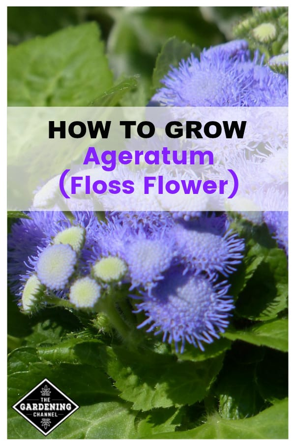 ageratum flowers with text overlay how to grow ageratum floss flower