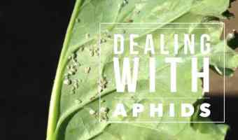 All About Aphids, and How to Kill Them