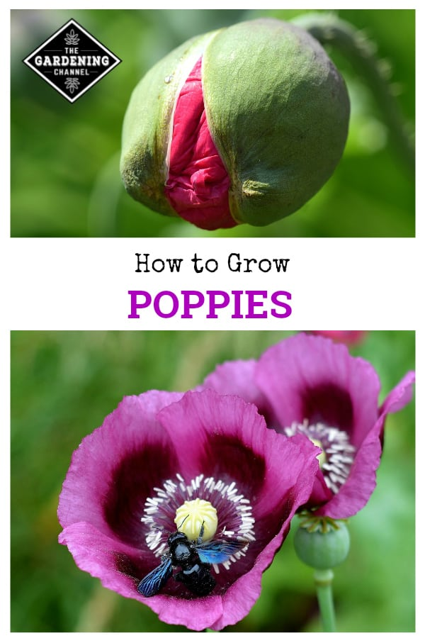 poppies bloom and bee on pink poppy flower with text overlay how to grow poppies