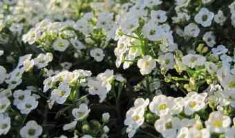 How to Grow Sweet Alyssum (Carpet Flower)
