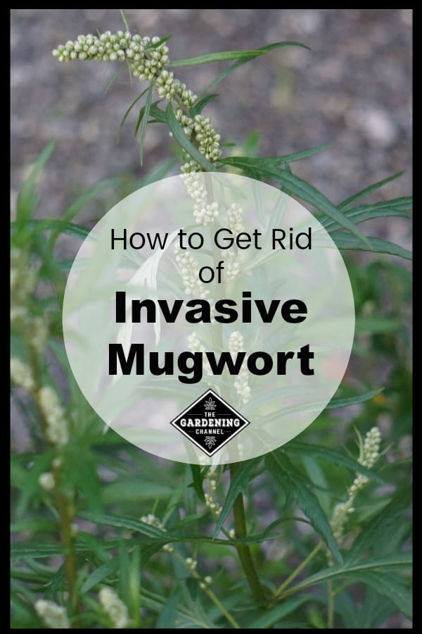 mugwort with text overlay how to get rid of invasive mugwort