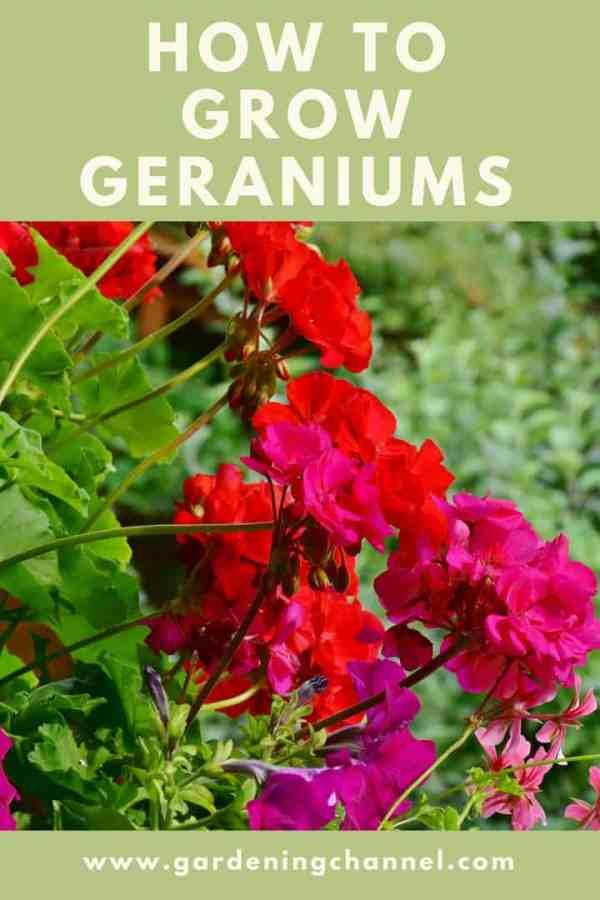 how to grow geraniums