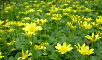 How to Get Rid of Invasive Lesser Celandine (Fig Buttercup)