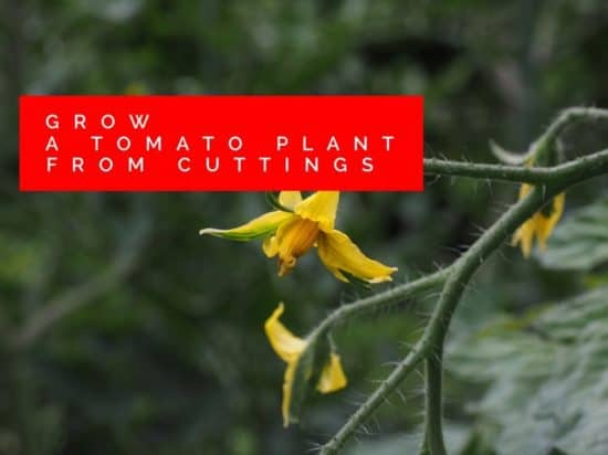 grow tomato plants from cuttings