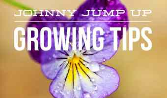 How to Grow Johnny Jump Up