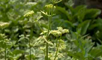 How to Get Rid of Invasive Bishop Weed (Goutweed)
