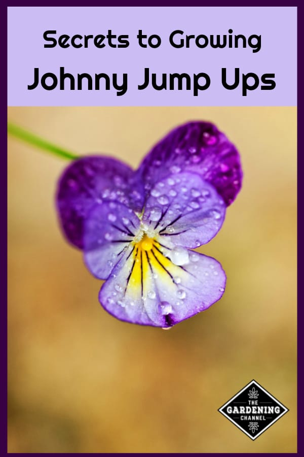 close up of johnny jump up flower with text overlay secrets to growing johnny jump ups