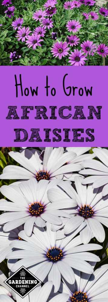 purple and white african daisies in the garden with text overlay how to grow african daisies