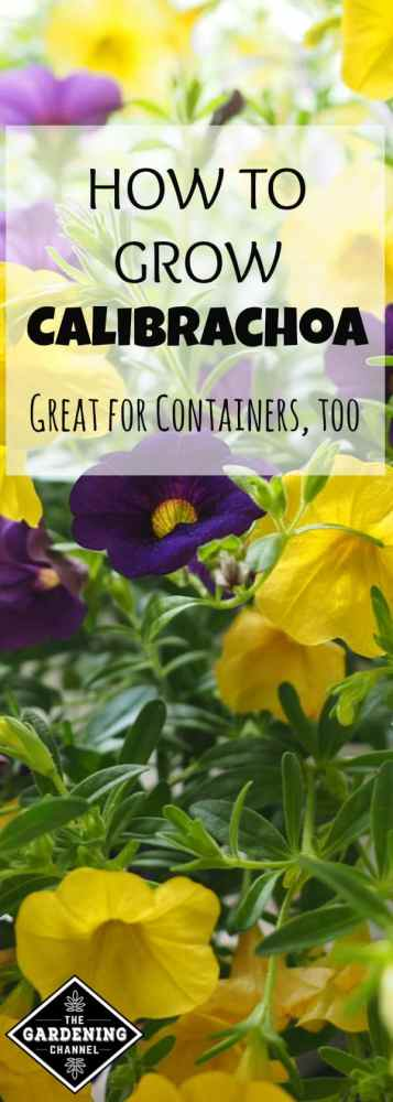 close up of calibrochoa flowers with text overlay how to grow calibrachoa great for containers too