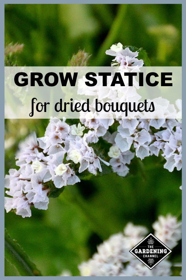 white statice closeup with text overlay grow statice for dried bouquets