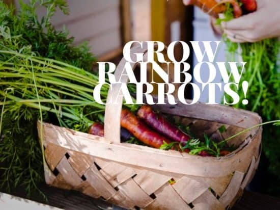 rainbow carrots are awesome