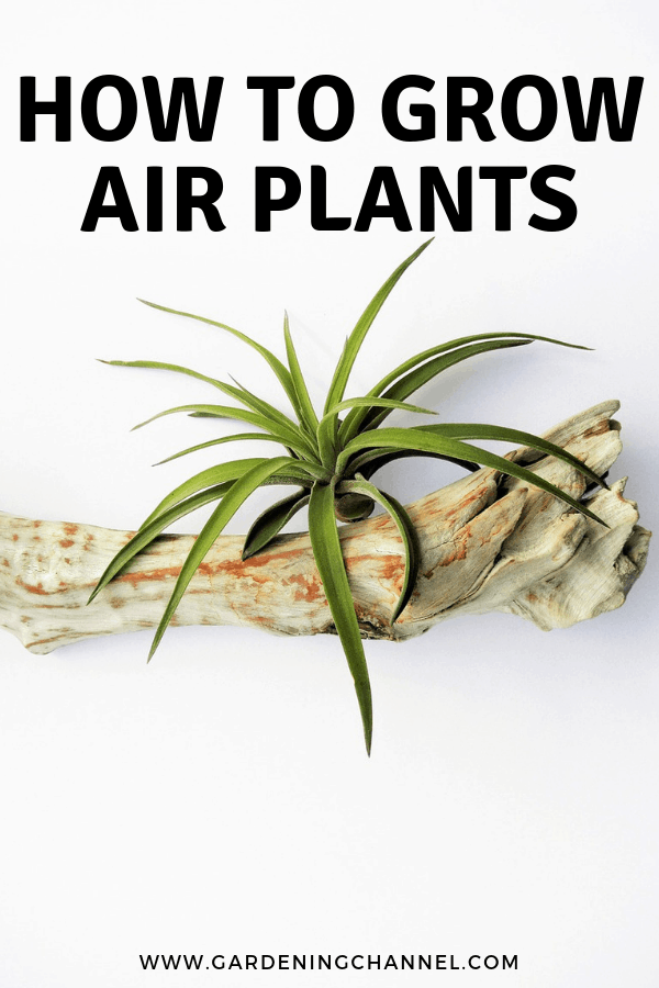 air plant in driftwood with text overlay how to grow air plants