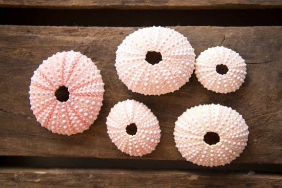 sea urchin shells for air plants