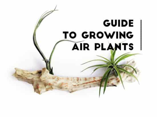 Growing Air Plants